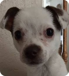 Henderson, NV - Chihuahua Mix. Meet Piper, a puppy for adoption. http://www.adoptapet.com/pet/15596481-henderson-nevada-chihuahua-mix