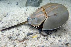 Chinese horseshoe crab , King Crab , Japanese horseshoe crab(Tachypleus tridentatus)カブトガニ