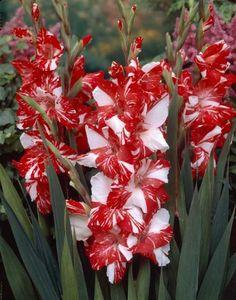 Red & White Gladiolas