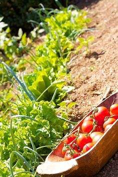 Rethymno villa rental - Vegetable garden available for your daily needs! Gold Sand, Vegetable Garden, Swimming Pools, Bbq, Villa, Beach, Holiday, Swiming Pool, Barbecue