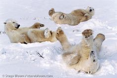 Polar bears rolling in the snow, Cape Churchill, Manitoba, Canada.