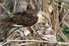 The Yellow-headed Caracara (Milvago chimachima) is a bird of prey in the family Falconidae. It is found in tropical and subtropical South America and the southern portion of Central America.