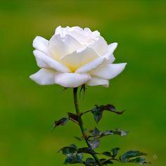 Beautiful Flowers Wallpapers, Beautiful Rose Flowers, Flowers Nature, Amazing Flowers, White Roses, White Flowers, Red Roses, Flower Drawing Tutorials, Rosa Rose