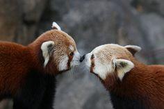 red panda kiss