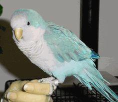 Blue mutation quaker parrot