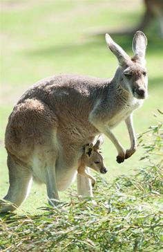 It's so cute how the mommy kangaroo carries around the baby kangaroo