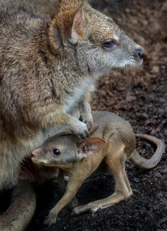 Hop to it by Ion Moe   Another look at the baby wallaby and mom at the San Diego Zoo.