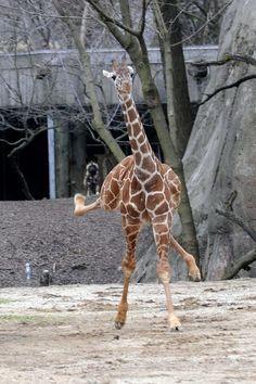 Giraffe kickn it up!!
