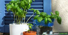With these 7 tips, basil pots survive forever- Mit diesen 7 Tipps überleben Basilikum-Töpfchen ewig Basil is a healthy herb that also thrives on the windowsill. Unfortunately, many little plants die much too quickly! With these tricks they last forever - Balcony Garden, Indoor Garden, Garden Pots, Indoor Plants, Outdoor Gardens, Little Plants, Small Plants, Healthy Herbs, Simple Rose