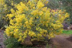 Acacia bormanii