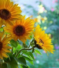 Sunflowers....