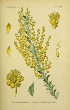 img / trees shrubs drawings / designs acacia trees and shrubs 0067 cultriforme - acacia cultriformis.jpg