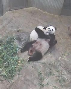 Red Pandas, Panda Bears, Cute, Koalas, Animaux, Animales, Kawaii, Red Panda, Panda Bear