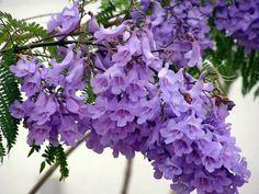 Jacaranda trees are in flower