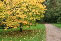 yellowwood (Cladrastis kentukea)