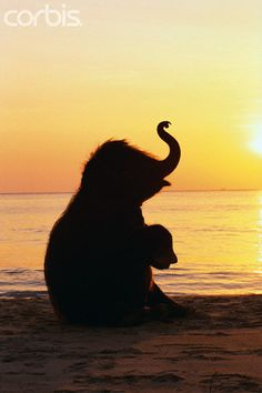 A Young Elephant Calf ~ Sitting On A Beach ~ At Sunset.