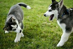 Husky puppies!!