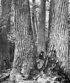 Chestnut trees a big commodity in the Appalachia