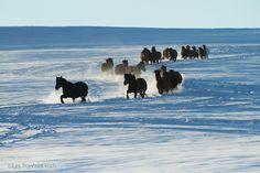 Hucul horses. Stado hucułów kłusujące zimą po śniegu w Bieszczadach equine photography zdjęcia koni…