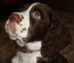 There is nothing cuter than a puppy, especially an English Springer Spaniel!