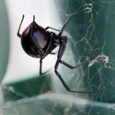 Black widow spider crawls out of bag of grapes and bites woman Female Black Widow, Black Widow Spider, Black Widdow, Spider Lamp, Desert Animals, Insect Photography, Bugs And Insects, Wildlife Nature, Animals Images
