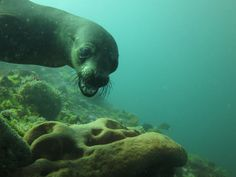 Sometimes the seals can look angry underwater but actually they are usually very relaxed with divers.