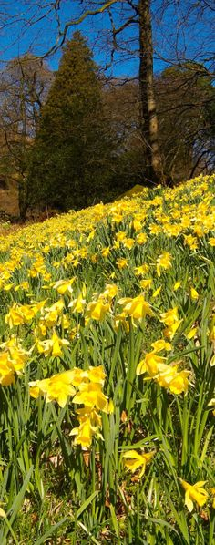 Wordsworth planted hundreds of daffodils in memory of his daughter, in what is now known as Dora's Field, Rydal. Photo: Brian Sherwen