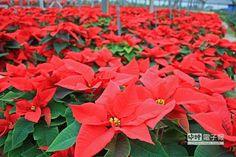 三星聖誕紅來了!5萬盆浪漫供應