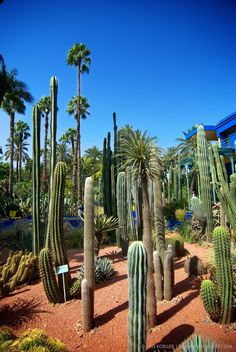 The many cacti found in the Jardin Majorelle, Marrakech, Morocco