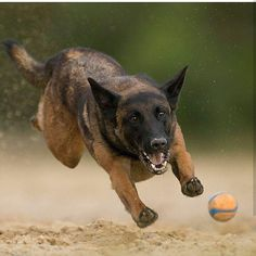 The final jump - Berger Malinois, Belgian Malinois Dog, Belgian Shepherd, German Shepherd Dogs, German Shepherds, Belgium Malinois, Flying Dog, War Dogs, Herding Dogs