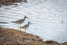 Greater and Lesser Yellowlegs, seen apart can sometimes be difficult to identify, but seen together highlights the differences between the two species. The World's Greatest, Fine Art America, Birds, Nature Animals, Highlights, Photography, Google, Photograph, Bird