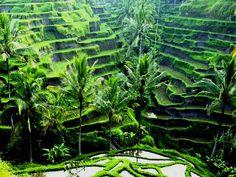 Flights to Ubud Bali   Rice fields, Ubud, Bali