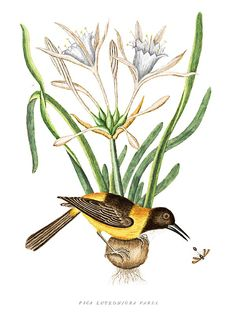 Mark Catesby - The Yellow and Black Pye - Pica Luteo-nigra varia (Venezuelan Tropial - Icertus icertus) with Spider Lily and Ichneumon Wasp