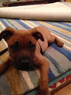 Meet Lowen, AKA Lowie, a #boxer & #lab mix rescue #puppy who just loves our colorful rugs!