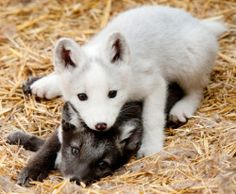 Photographer Sean Gordon took some outstanding photographs of Edmonton Valley Zoo's young Arctic fox pups last Tuesday. In the wild, Arctic fox litters typically comprise five to eight babies, although reports of as many as 25 kits in a single. Beautiful Wolves, Animals Beautiful, Cute Baby Animals, Funny Animals, Wild Animals, Fuchs Baby, Fox Pups, Wild Dogs, Tier Fotos