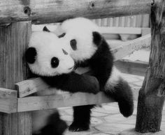 Panda kiss ❤️!!! ABP