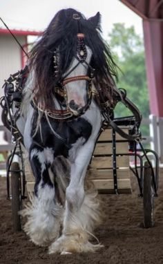 Gorgeous picture of a Gypsy Vanner All The Pretty Horses, Beautiful Horses, Animals Beautiful, Work Horses, Horses And Dogs, Horse Photos, Horse Pictures, Gypsy Horse, All About Horses