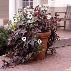 Add Waves of Color:        Use different plants habits to create lots of interest. Here, draping sweet potato vine and licorice plant create a striking contrast against the upright shapes of beefsteak plant and plectranthus.        A. Sweet potato vine (Ipomoea batatas 'Blackie') -- 3      B. Plectranthus coleoides marginata -- 1      C. Beefsteak plant (Iresine herbstii) -- 1      D. Marigold (Tagetes 'Lemon Gem') -- 1      E. Licorice plant (Helichrysum petiolare) -- 3