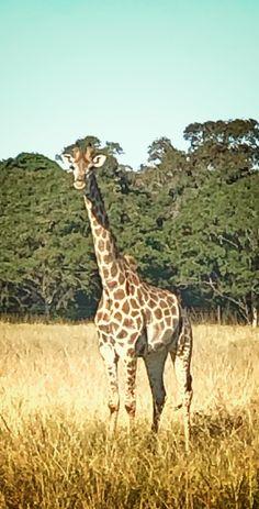 South Africa, Giraffe, Animals, Felt Giraffe, Animales, Animaux, Giraffes, Animal, Animais