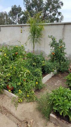 Tomatoes 5-30-16
