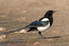 Black-billed magpie by Claude Ruchet