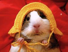 Guinea-Pig yellow