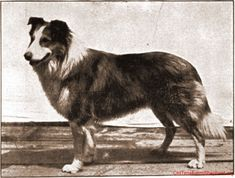 Old Photos of Scotch Collies, Historic Collie Pictures 1904