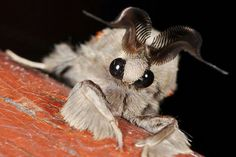 Venezuelan poodle moth; Discovered in venezuela in 2009.........shahroon aslam
