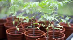 Conseils de jardinage : Éviter l'étiolement des semis