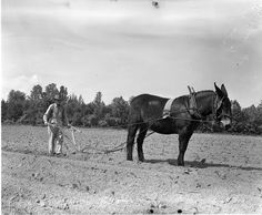 mule plowing a field, I can remember my grandpa had a plow just like that, he showed me how it worked