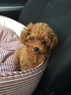 Mocha the red Poodle - just so cute!