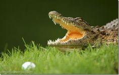 ¡Batalla épica! 2 lagartos pelean en un campo de golf - http://panamadeverdad.com/2014/08/26/batalla-epica-2-lagartos-pelean-en-un-campo-de-golf/