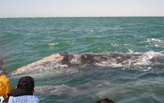 Whale season in Baja California begins in December with intense mating, but the best time to watch them begins in February and continues through March.