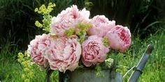 peonies - Yahoo Image Search Results